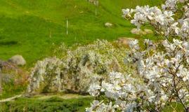 Magnolie, die im Vorfrühling blüht Hohe Abbildung der Auflösung 3D auf Weiß Lizenzfreie Stockfotografie
