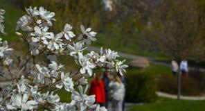 Magnolie, die im Vorfrühling blüht Hohe Abbildung der Auflösung 3D auf Weiß Stockfoto