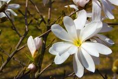 Magnolie, die im Vorfrühling blüht Hohe Abbildung der Auflösung 3D auf Weiß Lizenzfreies Stockfoto