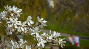 Magnolie, die im Vorfrühling blüht Hohe Abbildung der Auflösung 3D auf Weiß Stockbild