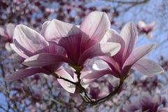 Magnolie eccezionali Immagini Stock Libere da Diritti