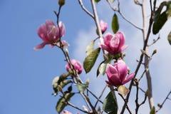 Magnolie flower01 Lizenzfreie Stockfotografie