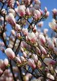 Magnolie Grandiflora Stockfoto