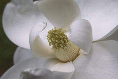 Magnolie Grandiflora Lizenzfreies Stockfoto