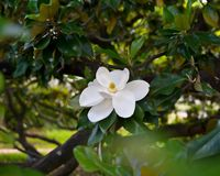 Magnolie Grandiflora Lizenzfreie Stockfotos