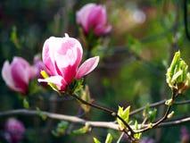 Magnolie liliiflora Stockbilder