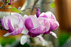 Magnolie lilliflora Blüten Lizenzfreie Stockfotos