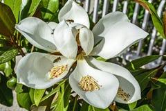 Magnolie mit Biene lizenzfreies stockfoto