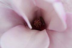 Magnolie nach innen Stockbilder