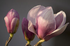 Magnolie rosa Immagine Stock Libera da Diritti
