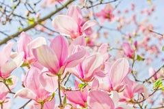 Magnolie rosa luminose Immagine Stock