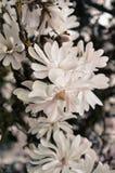 Magnolie scure Fotografia Stock