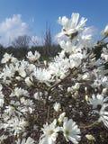 Magnolie stellata stockfotos
