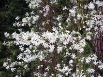 Magnolie stellata - Sternmagnolie Stockfotos