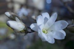 Magnolie stellata, weiß Stockbild