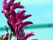 Magnolie 'Susan' Stockfoto