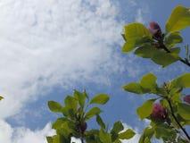 Magnolie unter einem blauen Himmel mit weißen Wolken Stockbilder