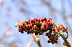 Magnolie w zimie Zdjęcia Stock