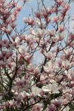 Magnoliebaum Stockfotos