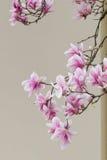 Magnolieblühen Stockbild