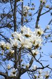 Magnolieblüte. Stockfoto
