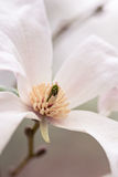 Magnolieblume Lizenzfreies Stockbild