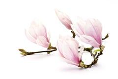 Magnolieblume Stockfoto