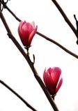 Magnolieblumen Stockbild