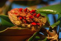Magnoliefrucht mit Startwerten für Zufallsgenerator Stockbilder