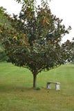 Magnolien-Baum bereit zur Blüte Lizenzfreie Stockbilder