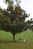 Magnolien-Baum bereit zur Blüte Stockfotografie