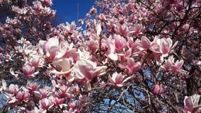 Magnolien-Baum blüht im April stock video