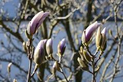 Magnolien-Baum mit Violet Buds in der Blüte, Tschechische Republik, Europa Lizenzfreie Stockfotos