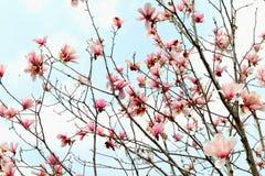 Magnolien-biondiimagnolienblume Lizenzfreies Stockfoto