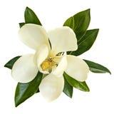 Magnolien-Blumen-Draufsicht lokalisiert auf Weiß Stockfotos