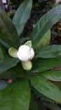 Magnolien-Cocos Stockfotos