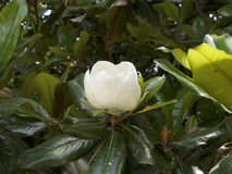Magnolien im Garten am Berg Vernon George Washingtons Home auf den Banken des Potomacs USA Lizenzfreie Stockbilder
