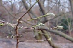 Magnolien-Niederlassung, die im Frühjahr knospt Stockfoto