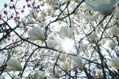 Magnolien und Sonnenschein Stockfotos