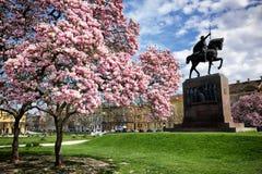 Magnolienbäume in der Blüte Stockfoto