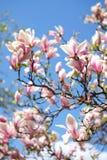 Magnolienbaum über blauem Himmel Stockfoto