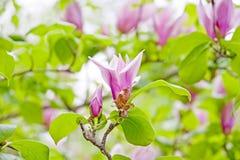 Magnolienbaum Stockfotos