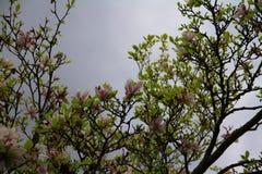 Magnolienbaum gegen grauen Himmel Lizenzfreie Stockfotos