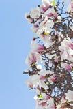Magnolienbaumblüte Lizenzfreie Stockfotos