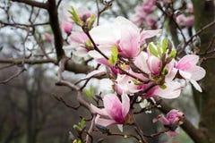 Magnolienbaumblüte nach einem Frühlingsregen stockfoto