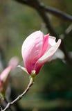 Magnolienbaumblüte Nahaufnahmeansicht der purpurroten rosa blühenden Magnolie Schöne Frühlingsblüte Empfindliche Magnolienblumen Stockbilder