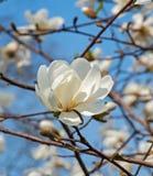 Magnolienblüte Stockfoto
