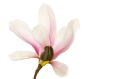 Magnolienblüte Stockfotos
