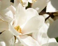 Magnolienblüten stockbilder