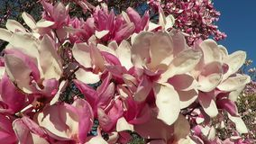Magnolienblüten im Wind stock footage